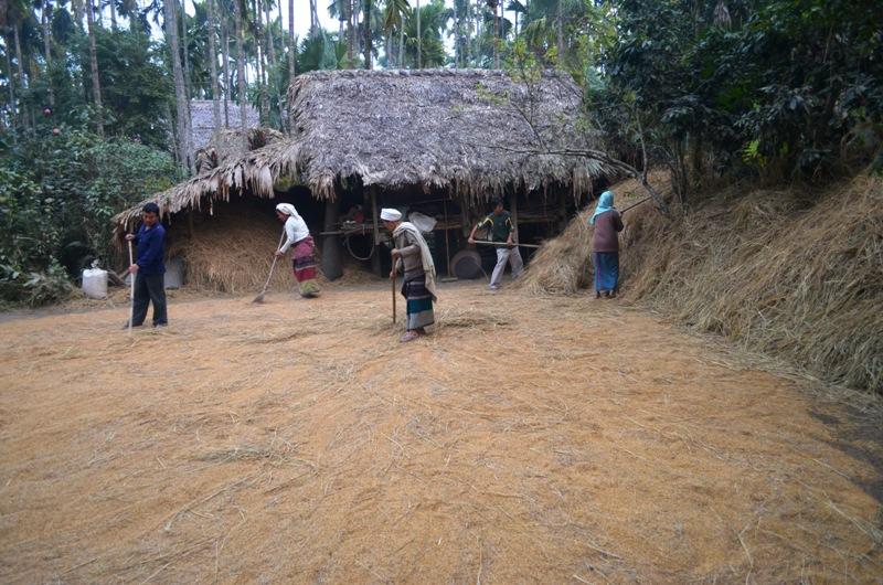 A phake family threshing rice grains